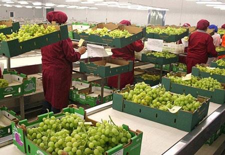 Упаковка винограда для транспортировки